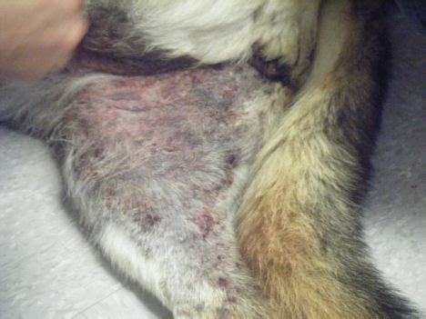 vasculitis in dogs unnecessary animal vaccines risks adverse reactions