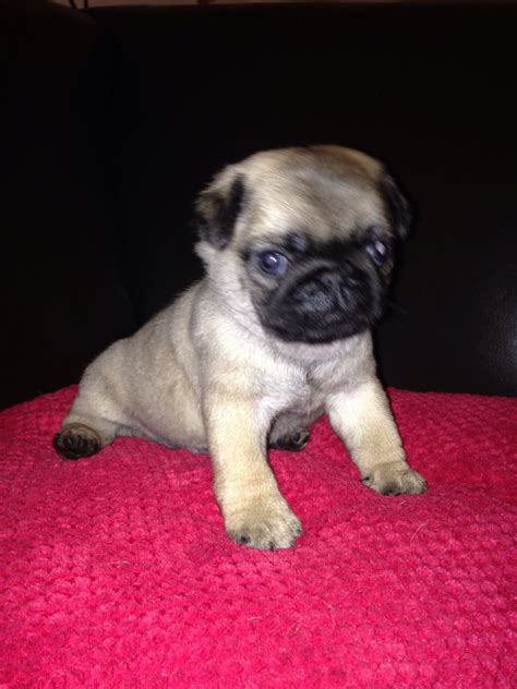 pug puppies available 4 x kc registered pug puppies available portsmouth hshire pets4homes