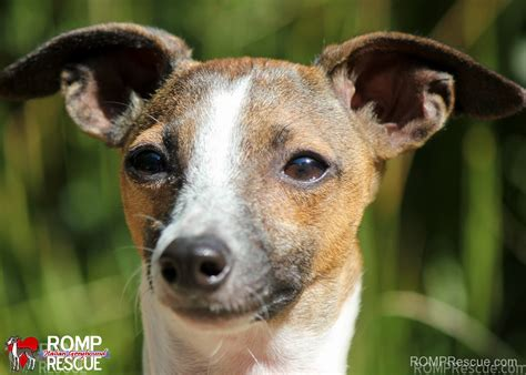 greyhound rescue italian greyhound rescue breeds picture