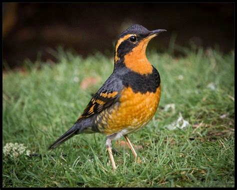 varied thrush 01 04 2016 sweet home oregon jk mk