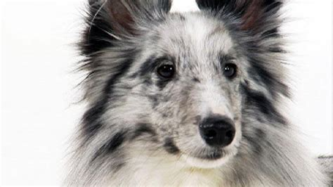 animal planet dogs 101 shetland sheepdog dogs 101 animal planet