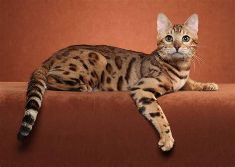 wallpaper bengal cat bengal cat wallpapers wallpaper cave