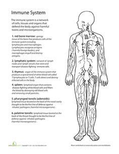Lymphatic System Worksheet by Human Anatomy Gottatinkle Device On