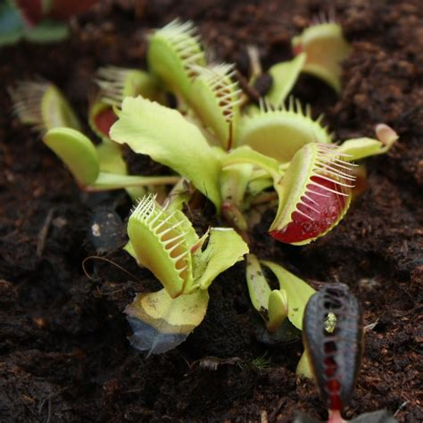 venus fly trap care how to grow a venus fly trap