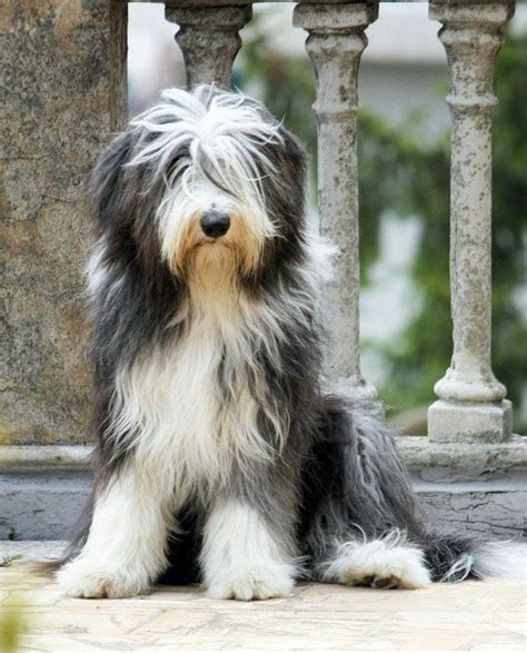 bearded collie puppies pin by cheryl charchol on bearded collies izzy b