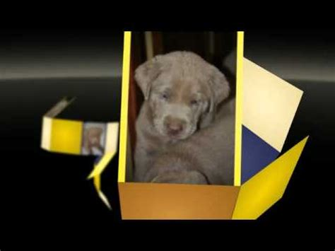 lab puppies for sale in wv silver labrador retriever puppies for sale silver labs ohio silver labs west