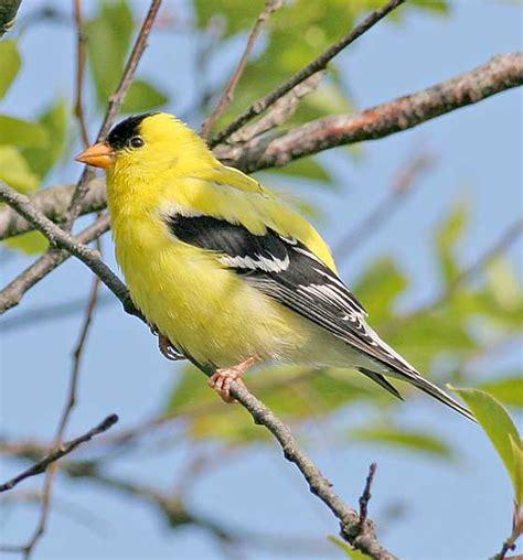 washington state bird the gold finch wa state