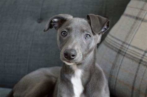 Meet Darcy the Blue Whippet Puppy | Mapped Out Blog | UK ...