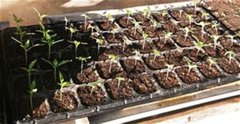 Tray Semai Yang Bagus cara penyemaian bibit sayuran yang baik dan benar cara