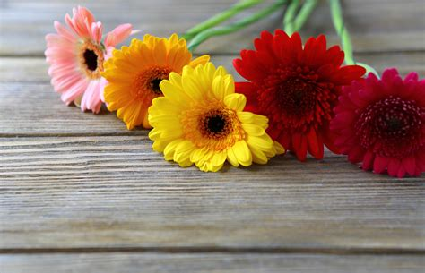 fiori gerbere gerbere e gentilezza