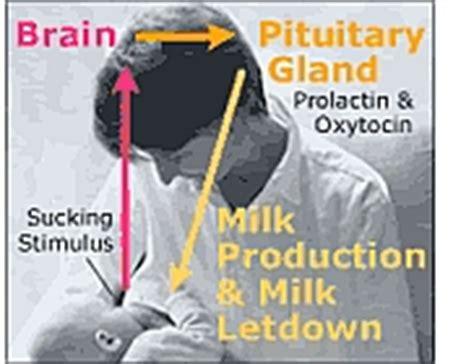 Oxytocin 10 50 Ml Hormon Memperbanyak Dan Memperlancar Air tambah ibu antara longan kering pucuk betik pil dan prolaktin vitamins for all