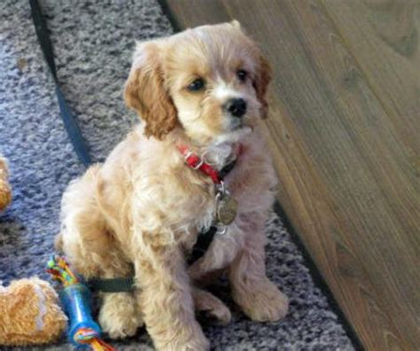 cocker spaniel mix puppies chihuahua cocker spaniel mix for sale images