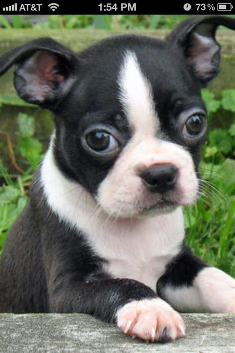 boston bull terrier puppies 25 best ideas about boston terriers on boston terrier boston terrier