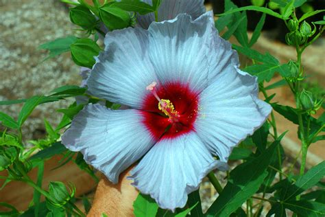 what color is hibiscus agrilife researcher develops a painter s palette of winter