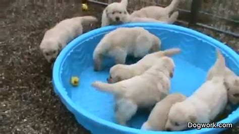 5 week golden retriever puppy flash mob or just angry mob