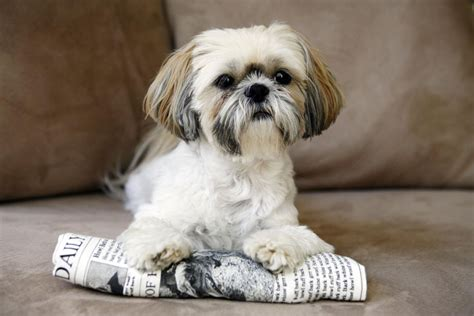 fish for shih tzu shih tzu breed profile