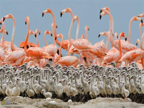 Baby Pink Flamingo fact check are flamingo egg yolks pink