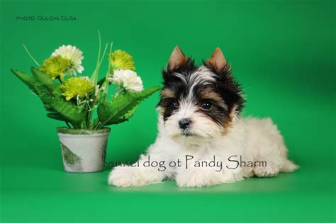 multi colored yorkies multi color terrier teysmaks ot pandy sharm