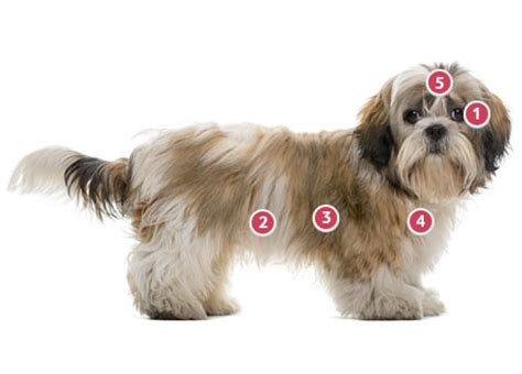 shih tzu age problems shih tzu insurance breed facts health information