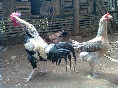 Ayam Pelung Murah peternakan ayam pelung subang jual murah ayam pelung