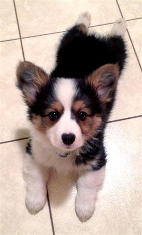 corgi puppies houston corgis are the cutest perros caves puppys and