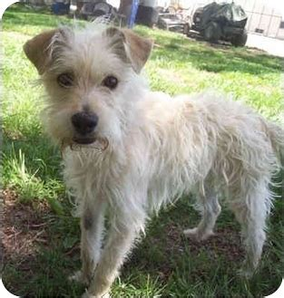 wire haired dogs wire haired terriers mix for adoption breeds picture
