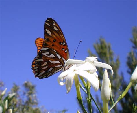 imagenes de mariposas posadas en flores flores que atraen mariposas al jard 237 n flores flor de
