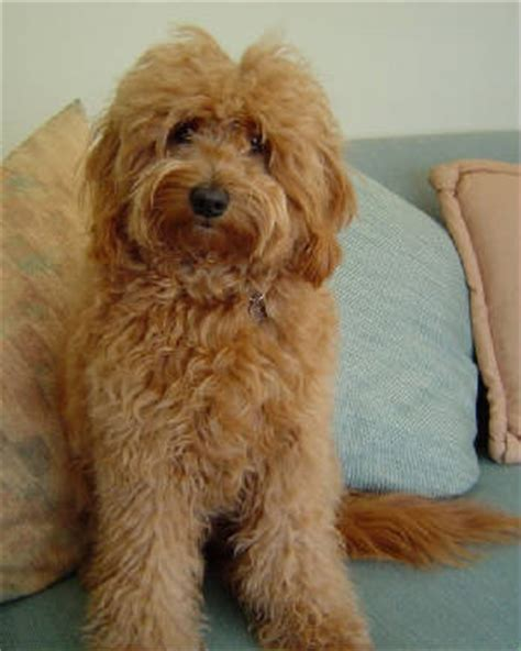 mini doodle f1b miniature goldendoodle golden retriever poodle mix info