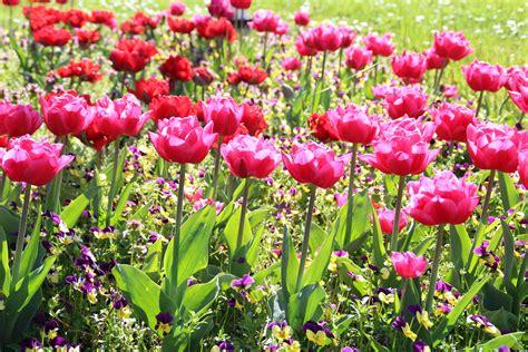 Benihbijibibit Bunga Tulip Bi Colour beli set lot murah u2013 grosir set