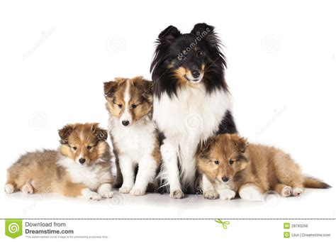 free sheltie puppies sheltie puppies and stock photo image 28783266
