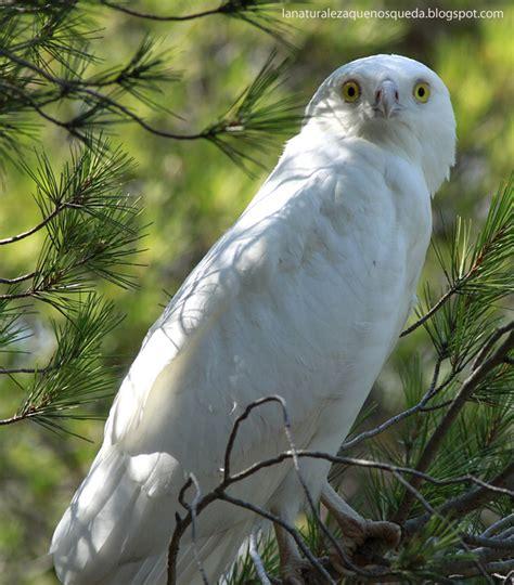 imagenes aguilas blancas la naturaleza que nos queda el 193 guila blanca circaetus