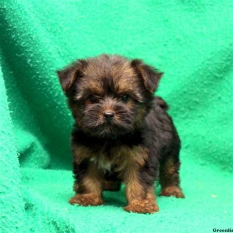 yorkie silky puppies for sale silky terrier puppies for sale in de md ny nj philly dc and baltimore