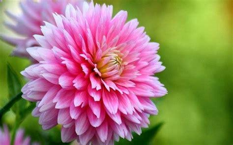 fiori dalie dalia giorgina dahlia dahlia bulbi dalie