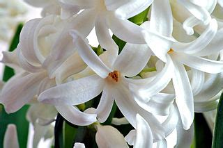 file:hyacinth flower close up aka.jpg wikimedia commons