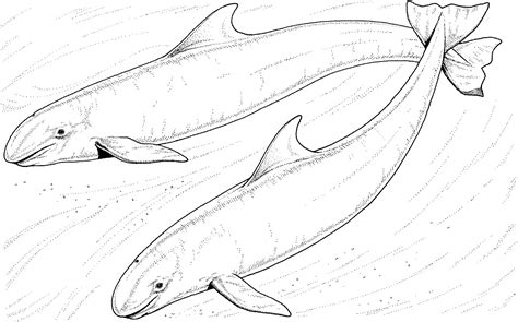 Spotted Dolphin Coloring Page | pin spotted dolphin colouring pages on pinterest