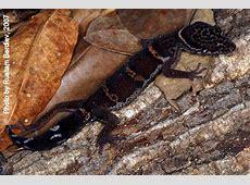 goniurosaurus orientalis toyamai yamashinae kuroiwae ... Eugene