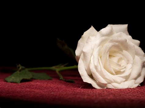 wallpaper desktop background rose white rose wallpapers hd pictures flowers one hd