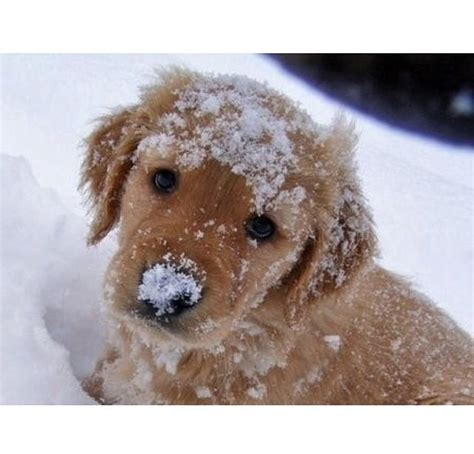 golden retriever in the snow discover and save creative ideas