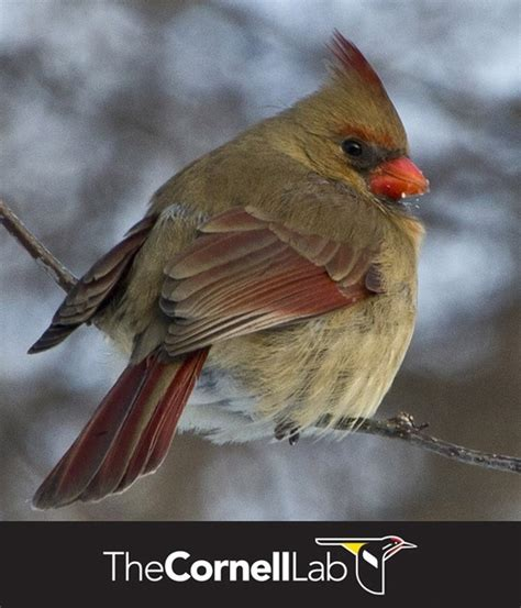 13 best all about northern cardinals images on pinterest