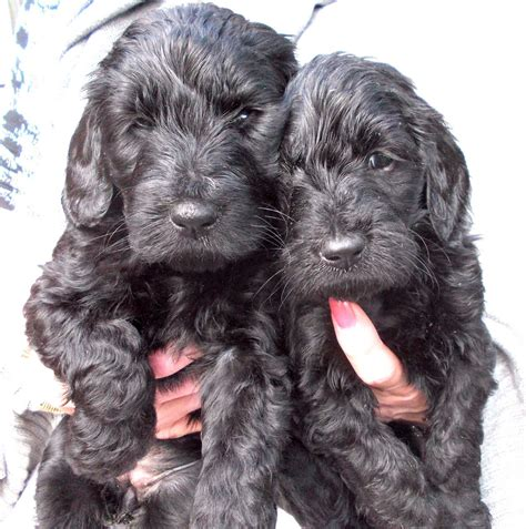 mini goldendoodles uk mini goldendoodle pup for sale newcastle upon tyne