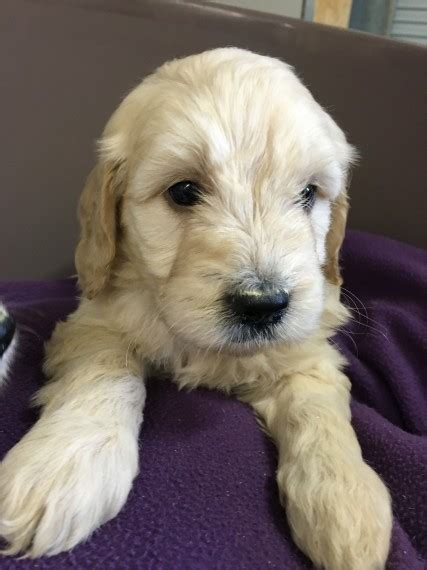 goldendoodle puppy wanted f1 miniature goldendoodle puppy carluke