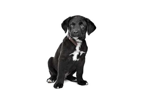 rottweiler great dane mix is the great dane rottweiler mix much for families to handle