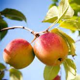 apple uttwiler spatlauber an apple a day will help fight wrinkles healthy natural