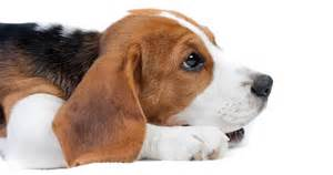 5 things to know about beagles petful