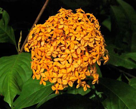 gardensonline ixora chinensis prince  orange