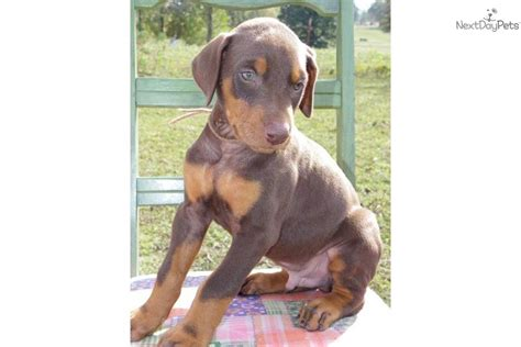 brown doberman puppies doberman pinscher for sale for 500 near southern illinois illinois 98d88b74 1b71