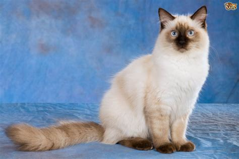 rag doll show ragdoll cat breed information buying advice photos and