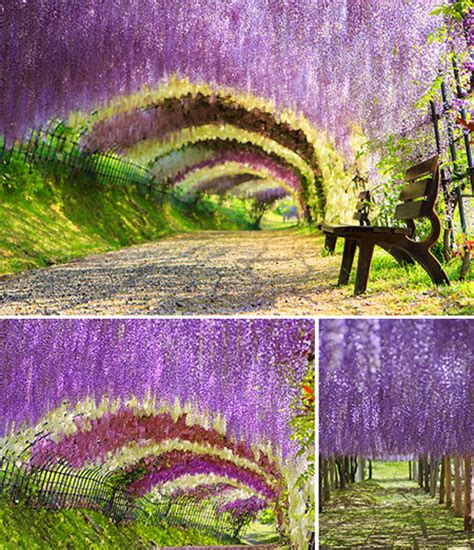 wisteria tunnels tokyo 100 japan wisteria tunnel wisteria tunnel stock