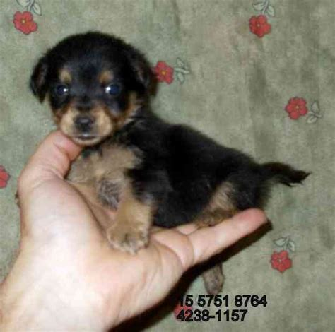 yorkie con chihuahua chihuahua terrier mix breeds picture