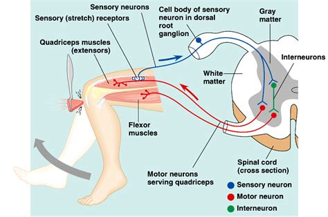 Ankle Support Reflex by Related Keywords Suggestions For Knee Reflex Diagram